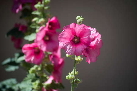 Closeup of pink hollyhock flowers in the street Stock Photo