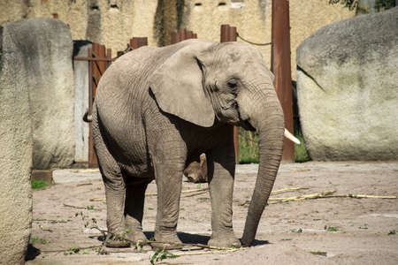 Portrait of african elephant walking in a zoological park