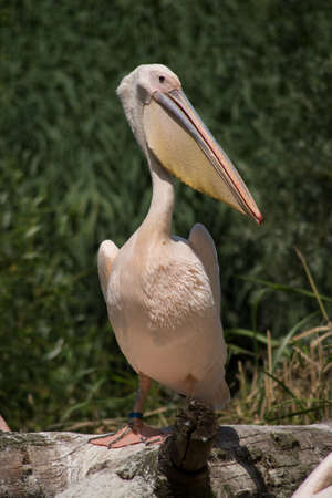 Portrait of wild pelican standing in a zoological park