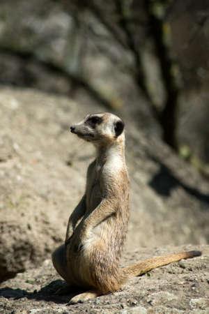 Portrait of wild meerkat standing on the land