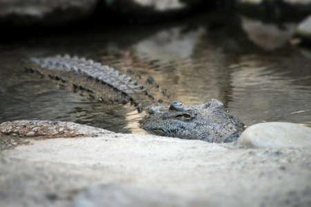 Portrait of crocodile in the water Stock Photo