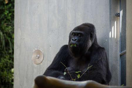 Portrait of gorilla sitting in a zoologic park