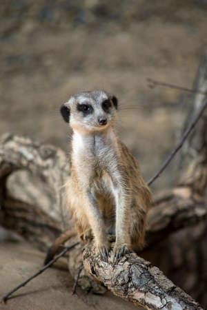 Portrait of wild meerkat sitting on tree branch