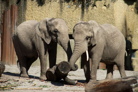 Portrait of two african elephants standing in a zoological park