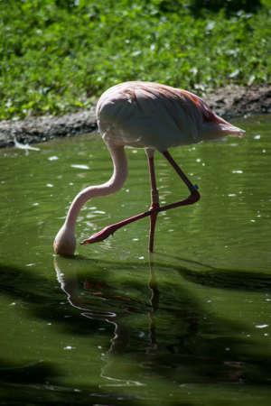 Portrait of pink flamingo standing in the water
