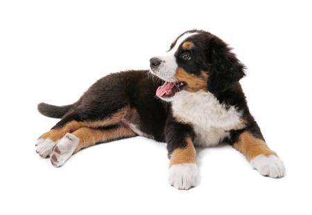 mountain dog: little puppy of bernese mountain dog on white background Stock Photo