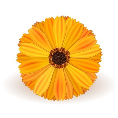 calendula: Marigold