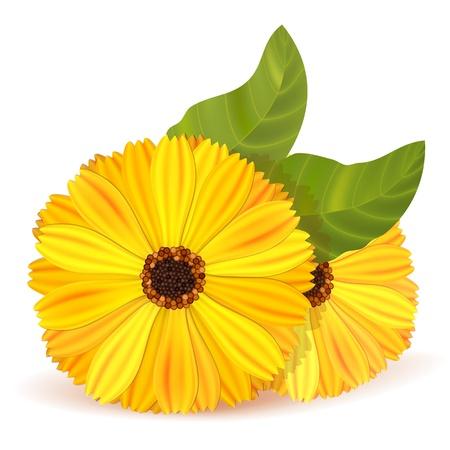 cempasuchil: Las flores de cal�ndula con hojas Vectores