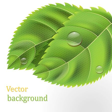 Bio Green leaves background with drops on white Stock Vector - 12813252