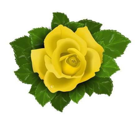 Vector Yellow rose flower with leaves isolated on white background