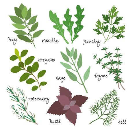 tomillo: curativas, medicinales y aromáticas hierbas Vectores