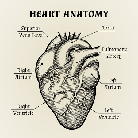 right ventricle: Black and White Heart Anatomy Graphic
