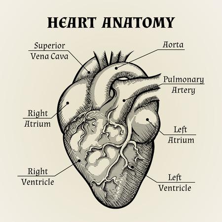seres humanos: Negro y blanco del coraz�n Anatom�a Gr�fico