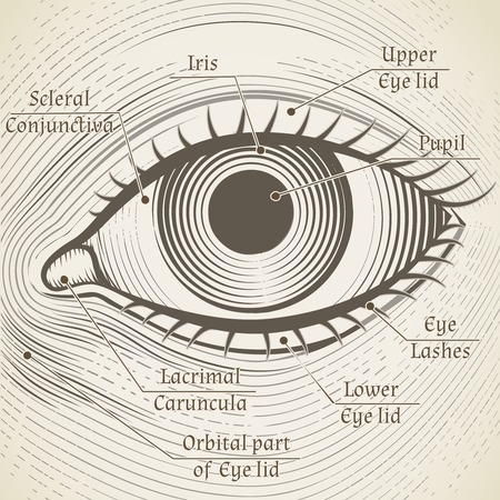 lacrimal: Vector human eye etching with captions. Cornea, iris and pupil. Name parts of the eye for books, encyclopedias