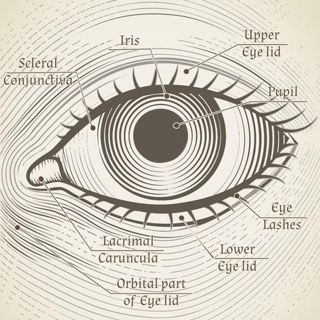 cornea: Vector occhio umano incisione con didascalie. Cornea, iride e pupilla. Nome parti dell'occhio per libri, enciclopedie