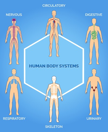 body outline: Vector human body systems illustration