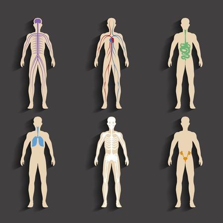Les organes humains et systèmes du corps
