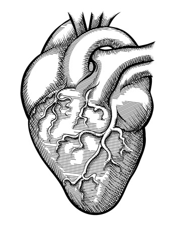 heart sketch: Vector human heart Illustration