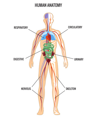 digestive anatomy: Human anatomy Illustration