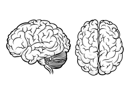 anatomy brain: Vector human brain