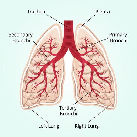 oxigeno: Estructura de los pulmones