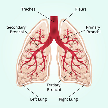 human lung: Structure of the lungs
