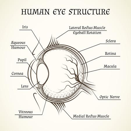 Estructura del vector del ojo humano. Anatomía y la medicina, el iris y la pupila, la lente y la mácula, el humor acuoso Vectores