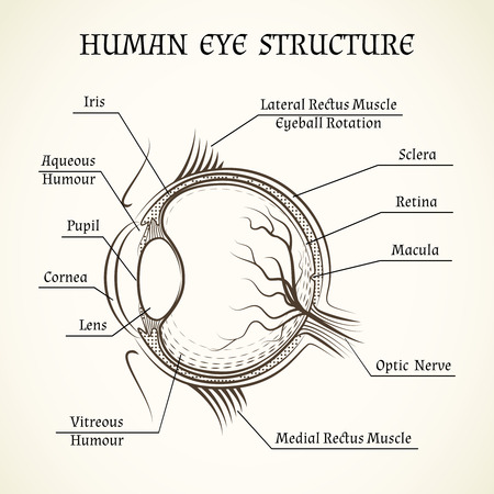 macula: Vector structure of the human eye. Anatomy and medicine, iris and pupil, lens and macula, aqueous humour