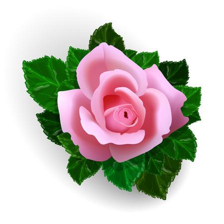 flor aislada: Vector rosa de flores aisladas sobre fondo blanco Vectores