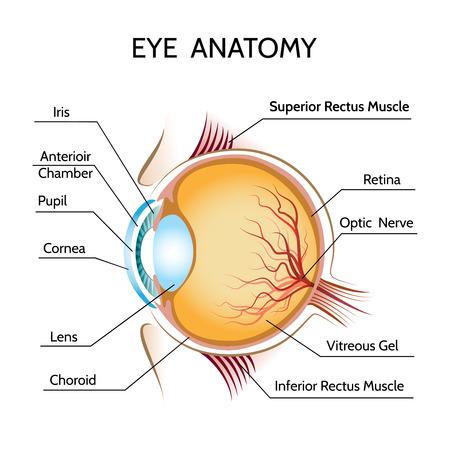 ojo humano: Ojo anatomía Iris y óptica Vectores