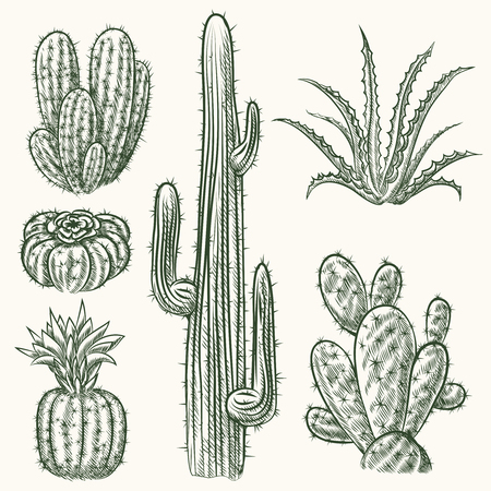 cacti: Hand drawn vector cactus set. Plant mexican nature, flora exotic illustration Illustration