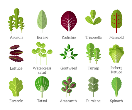 Salad ingredients. Leafy vegetables vector flat icons set. Organic and vegetarian, borage and radichio, trigonella and mangold illustration Vettoriali