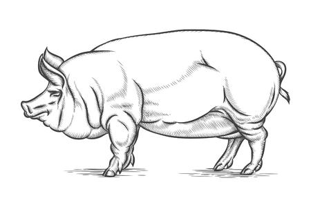 cerdos: Grabado gran cerdo o de cerdo vector dibujado a mano ilustración. Carne de cerdo y de animales domésticos, ilustración vectorial Vectores
