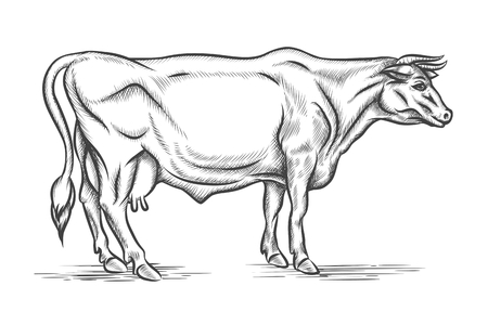 domestic cattle: Engraving cow. Vector hand drawn illustration. Mammal cattle, graphic bull, horn and head