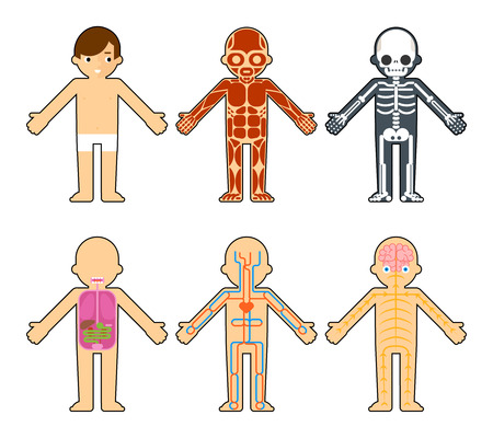 Body anatomy for kids. The skeleton and muscles, nervous system and circulatory system infographics elements