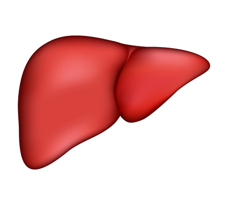 higado humano: hígado humano realista. Vector ilustración médica. anatomía Medicina, órgano humano, la salud y la biología