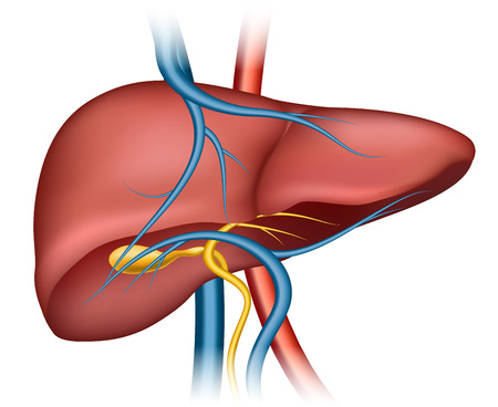 liver cirrhosis: Human liver structure. Organ human, medical science, health internal, illustration