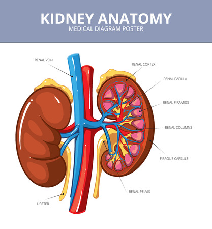 internal: Kidney medical vector diagram poster. Internal organ, artery and tract, vessel and ureter, scheme illustration