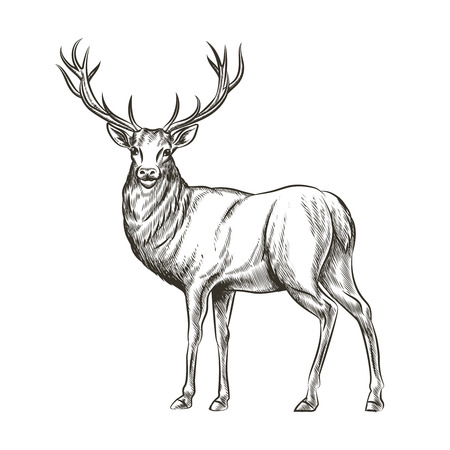 Hand drawn deer. Animal wild, horn and nature wildlife, mammal reindeer, horned antler, sketch vector illustration