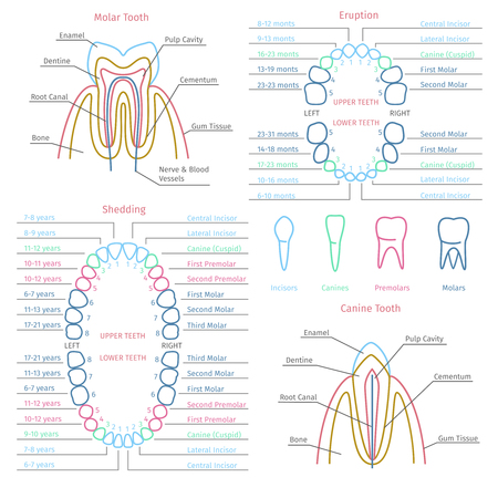 incisor: Adult and baby tooth dental anatomy infographics. Health medicine human, healthcare vector illustration