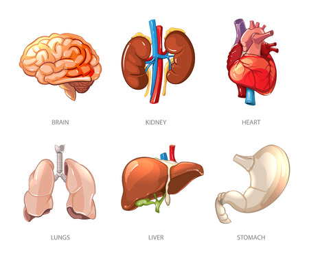 abdomen plano: órganos internos anatomía humana en el vector de estilo de dibujos animados. Cerebro y el riñón, el hígado y el pulmón, el estómago y el corazón ilustración