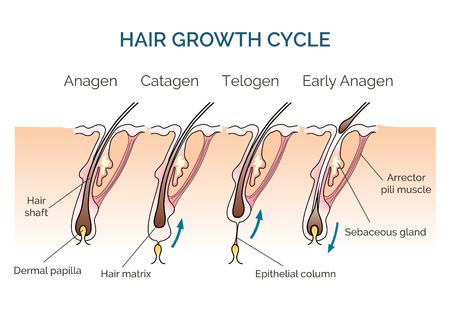 Hair growth cycle. Hair cycle, science phase hair, human hair growth. Vector illustration