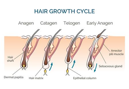 cell growth: Hair growth cycle. Hair cycle, science phase hair, human hair growth. Vector illustration
