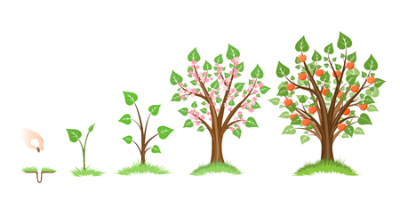 Apple tree growth cycle. Tree plant apple, cycle botanical, gardening growth fruit, natural apple, crop food, vector illustration Çizim
