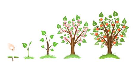 Manzana ciclo de crecimiento de los árboles. Manzano planta, botánico ciclo, el crecimiento del fruto jardinería, natural de manzana, alimento cosecha, ilustración vectorial