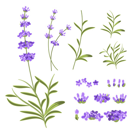 purple flowers: Lavender flowers vector elements. Illustration constructor for greeting cards and invitations. Flower lavender, nature lavender floral, plant purple lavender, blossom lavender violet