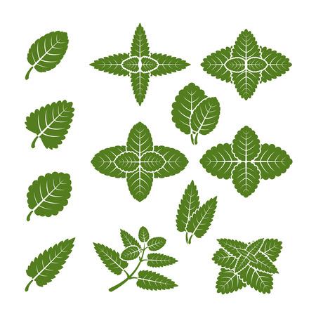 Conjunto de vectores de hojas de menta. Ilustración natural de la hierba orgánica de la planta