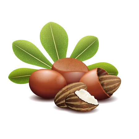 Shea nuts with green leaves illustration. Brown shea nut and organic fetus nuts shea Vectores