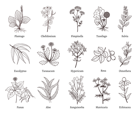 sanguisorba: Medicinal herbs and plants doodle vector collection. Hand drawn herb for medicinal use, herbal plant sketch drawing illustration Illustration