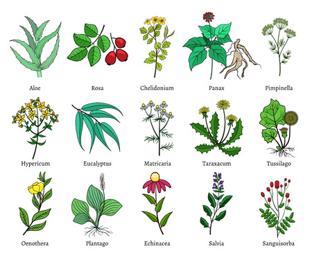 sanguisorba: Hand drawn medical herbs. Green isolated on white background, useful plants vector illustration